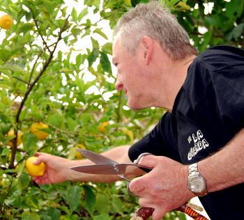 Picking Mediterranean Lemons