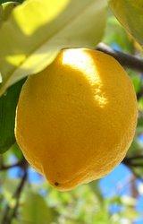 Mediterranean Lemons